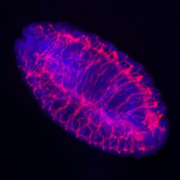Drosophila Embryo